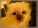 Goa_chaton_birman