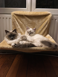 sacre de birmanie seal silver tabby et blue point